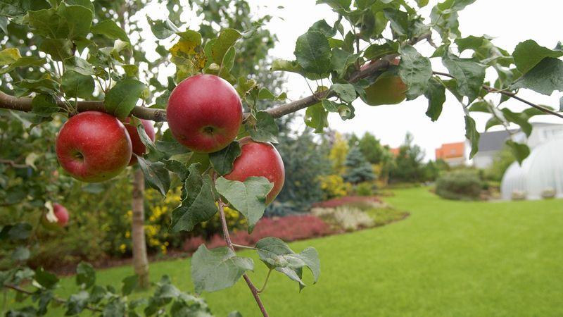 Jablko denně prý odradí i alzheimera