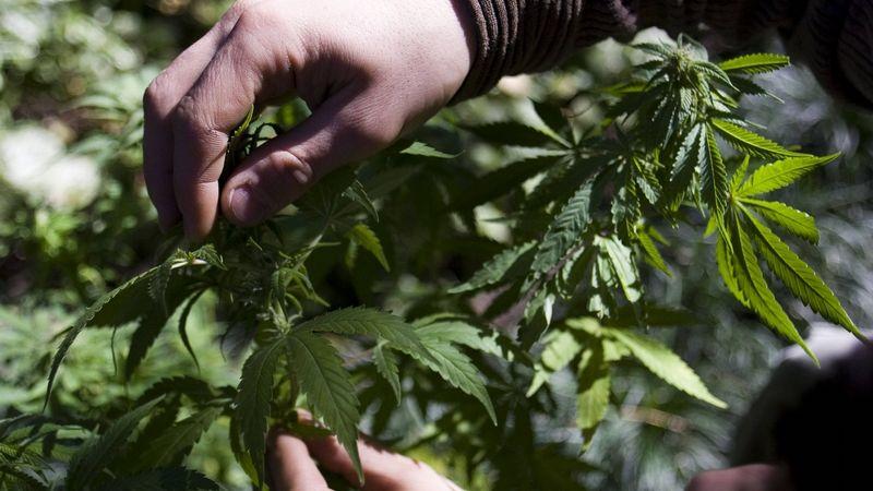 Léčebné konopí zlevní, úplná legalizace ale znovu neprošla