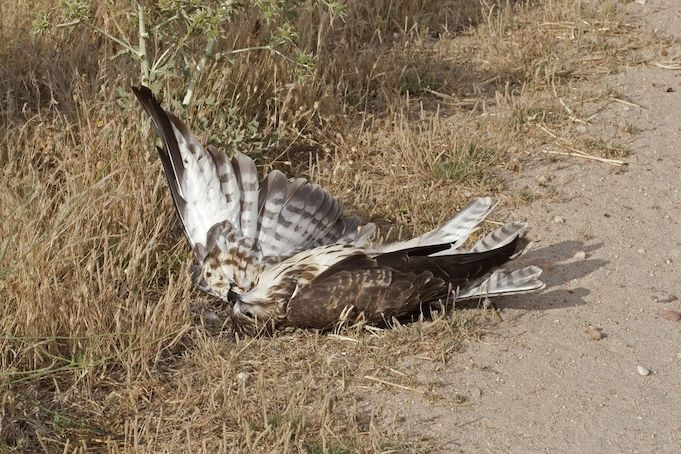 Uhynulé káně lesní. Ilustrační snímek