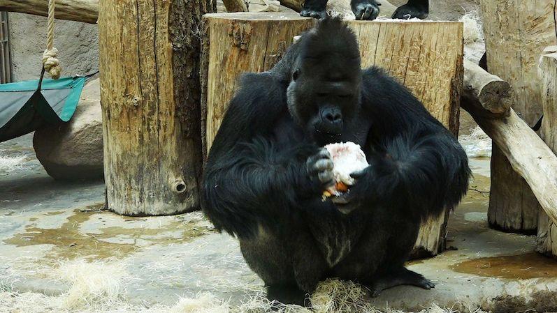 Gorilí samec Richard a lvi v pražské zoo mají koronavirus