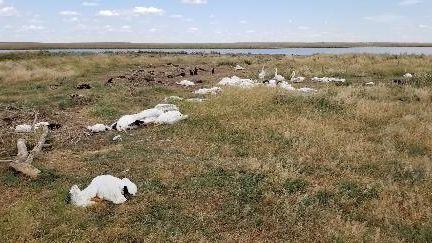 Silná bouřka v Montaně zabila a zmrzačila 11 tisíc ptáků
