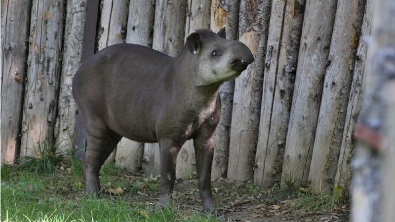 Po výběhu pražské zoo ode dneška pobíhá tapířice Taluen