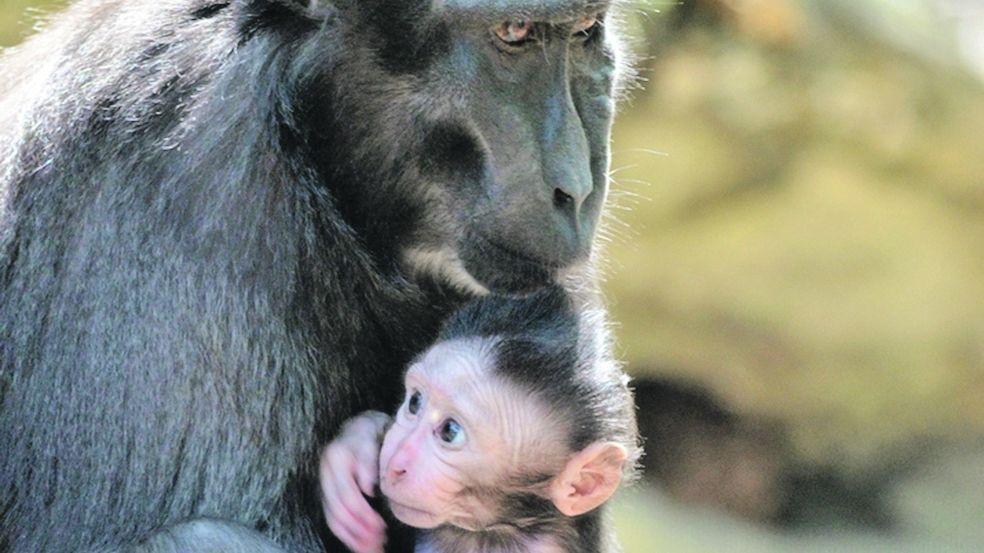 Děčínská zoo se raduje z malého makaka