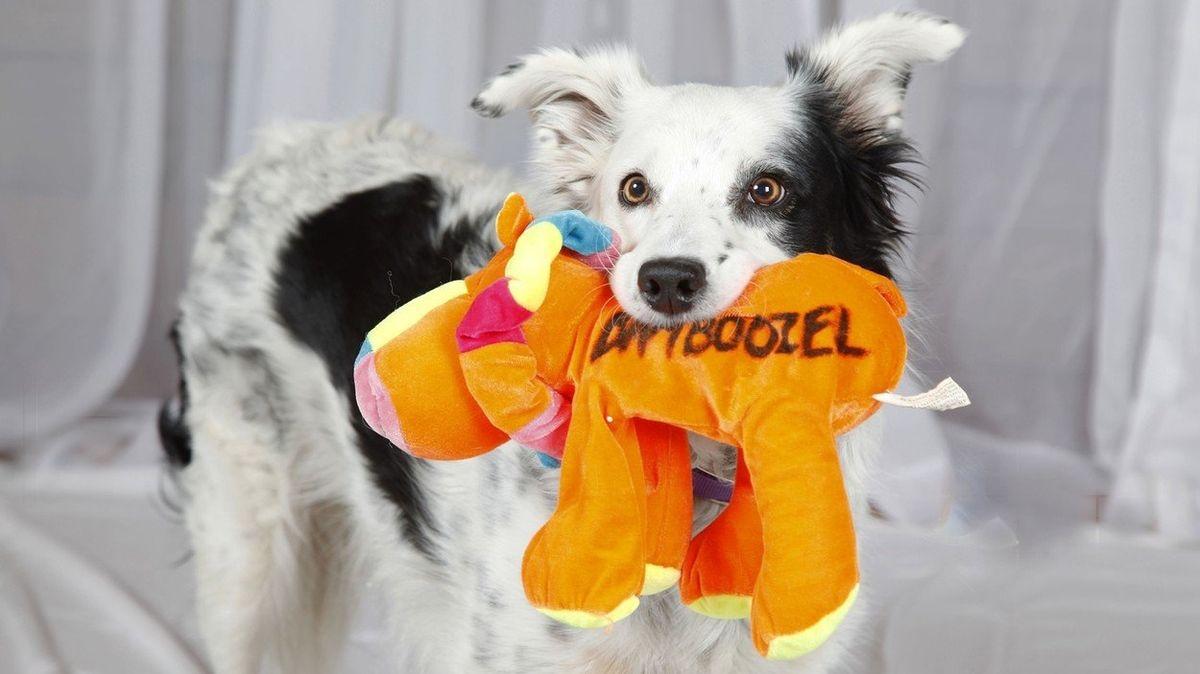 Nejchytřejší pes světa je po smrti. Pamatoval si přes tisíc slov
