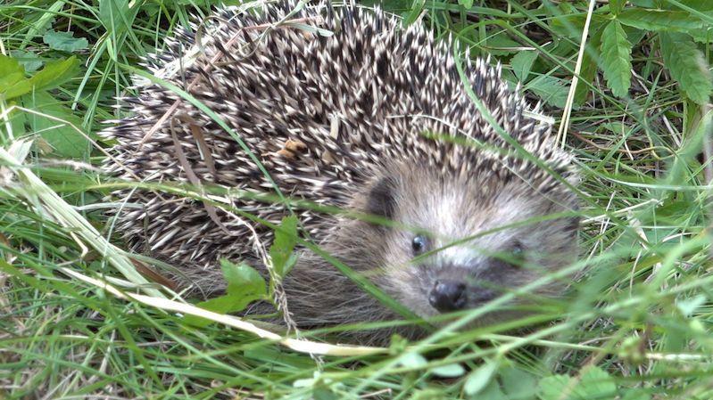 Zachráněná mláďata ježků našla nový domov v Prokopském údolí