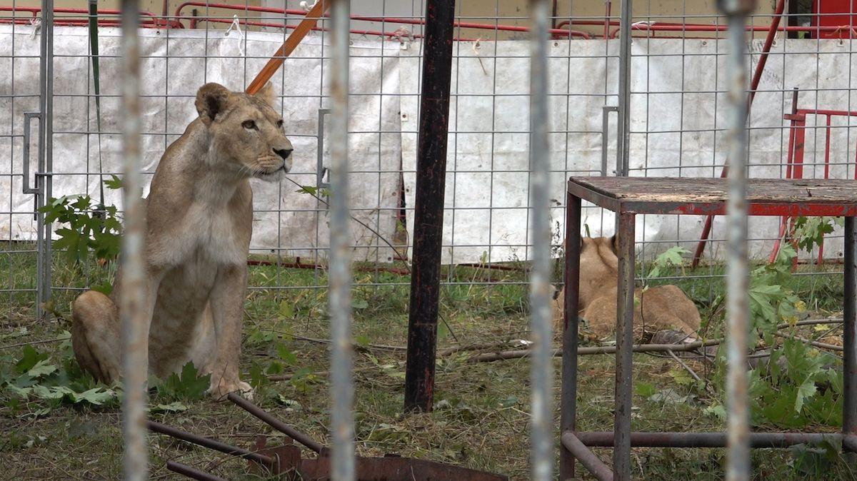Cirkusy kvůli covidu dávají šelmy do útulků