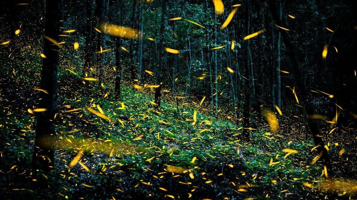 Tisíce světlušek vytváří v mexické rezervaci oslnivou podívanou
