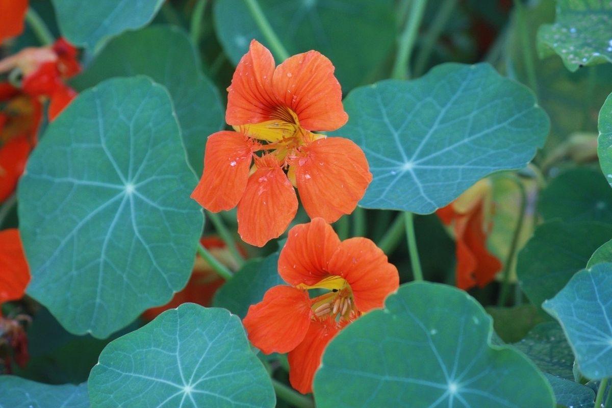 Lichořeřišnice chutná trochu jako ředkvička. Její čerstvé květy a listy jsou výborné např. v salátech.