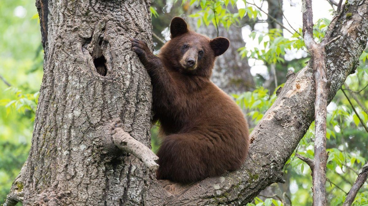 Američanku v Kanadě rozsápal medvěd