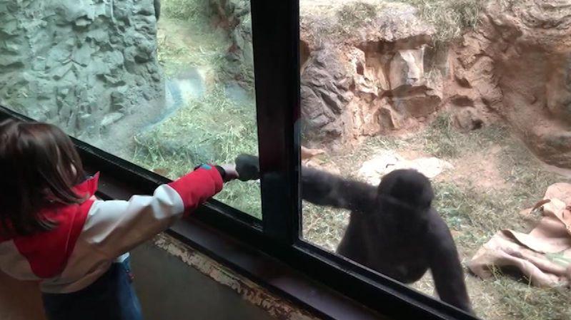 Hrátky dvou primátů: Gorila v zoo proháněla pětiletou holčičku