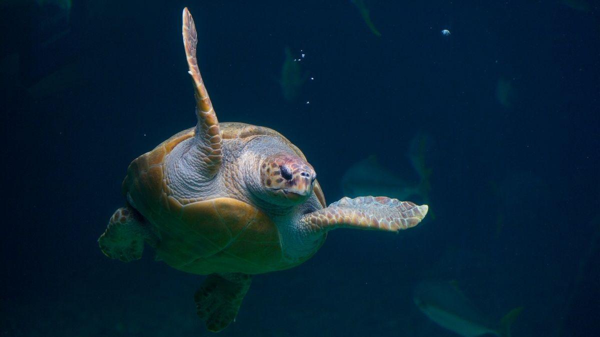 Mořská želva uplavala rekordních 35 400 kilometrů