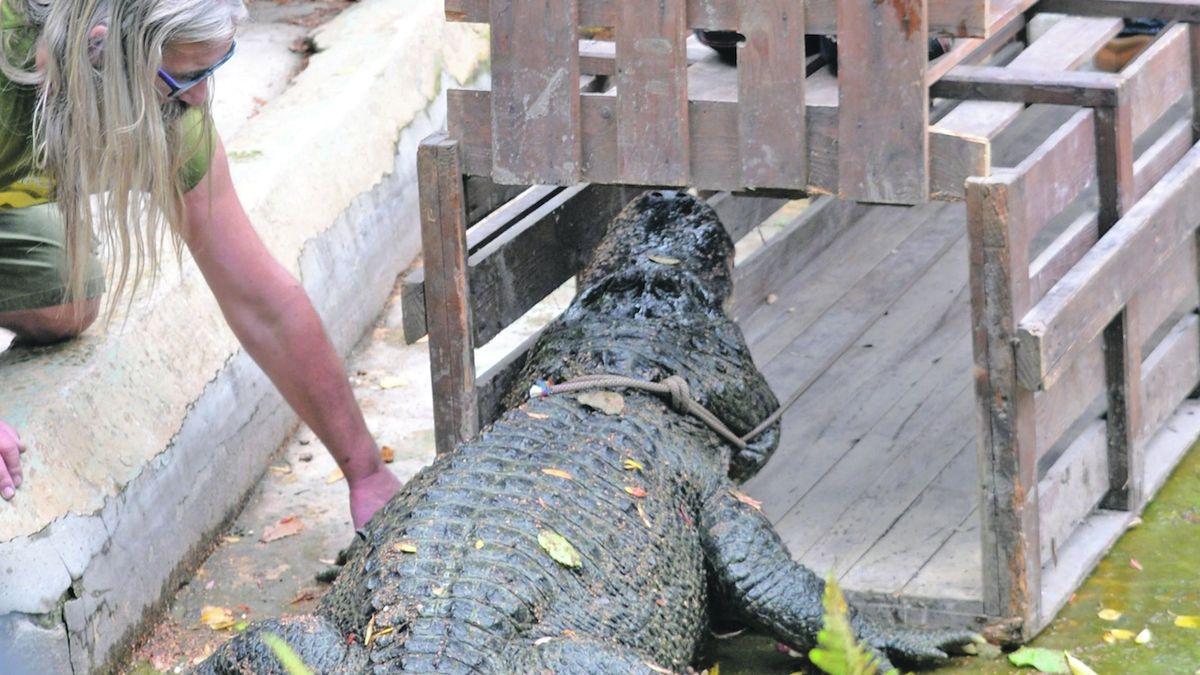 Aligátor Libor v ústecké zoo zamířil do zimoviště