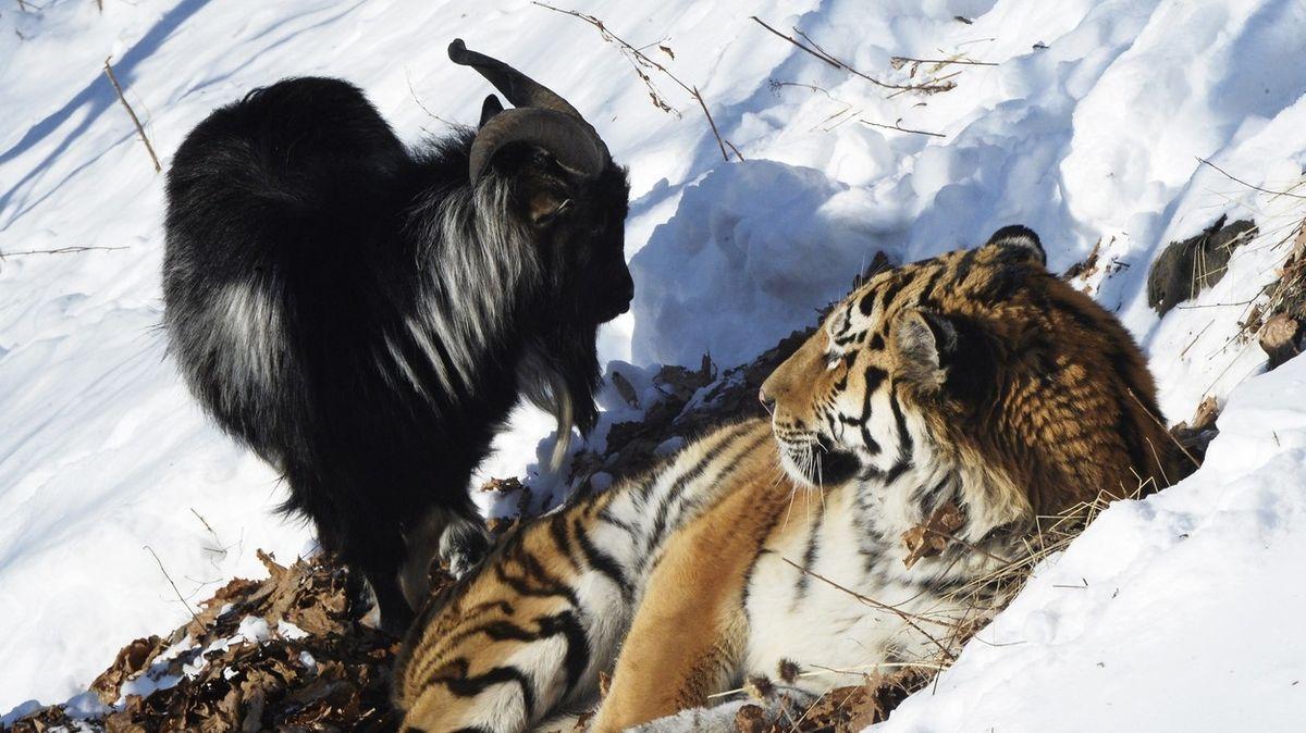 Pohádka o přátelství tygra s kozlem skončila