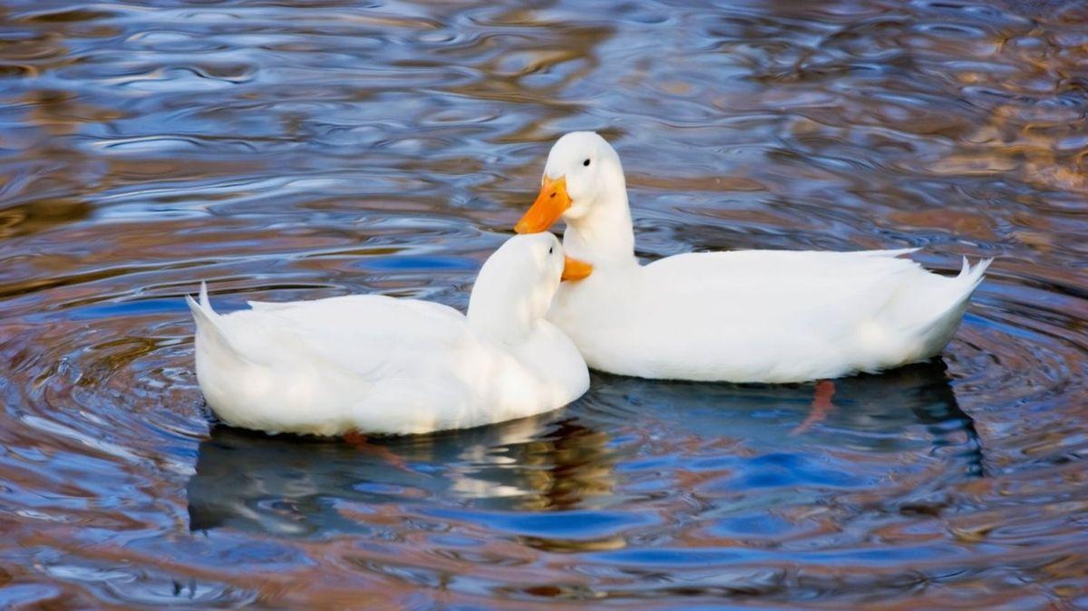 Kachna hledá lásku přes inzerát, chystá se romantická večeře