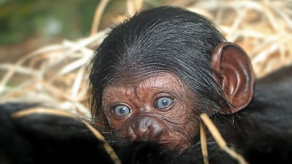 Plzeňská zoo přivítala první letošní přírůstek. Je to samička šimpanze