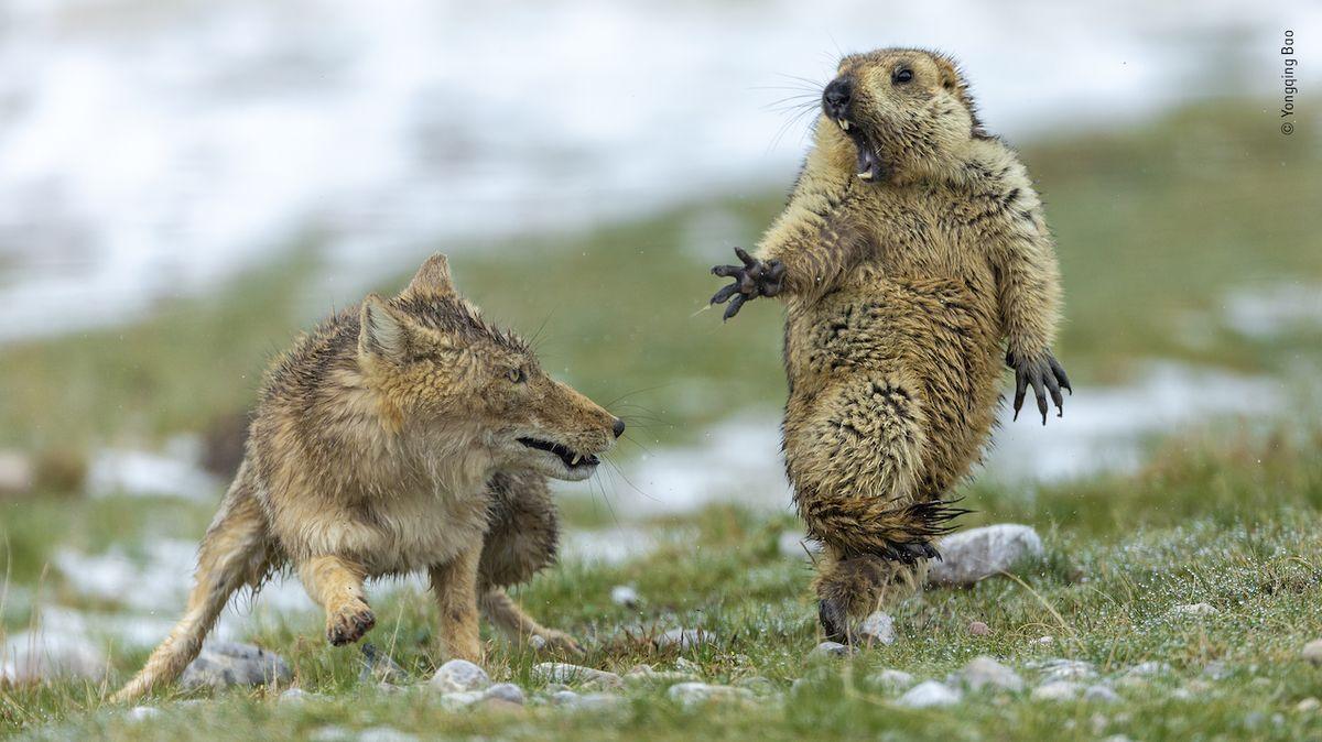 V soutěži o nejkrásnější fotku divočiny zvítězil vyděšený svišť