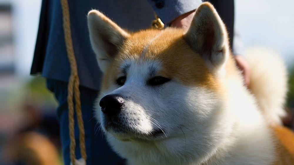 Akita inu - jedno z nejstarších psích plemen