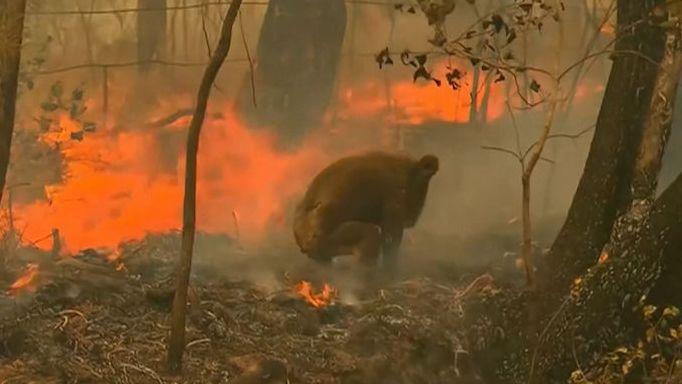 Žena zachránila naříkajícího koalu z ohnivého pekla
