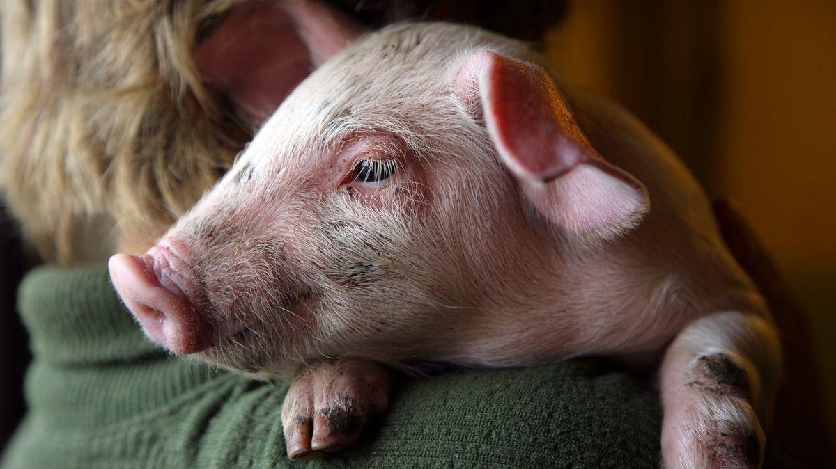 Farma hledá dobrovolníky na mazlení s prasaty