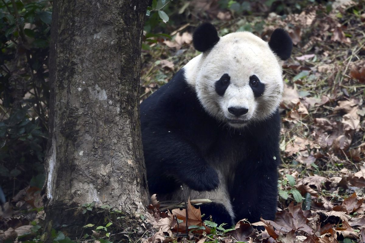 Panda Bei Bei se narodila v ZOO ve Washingtonu