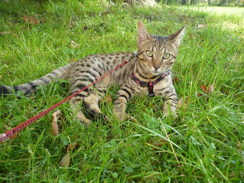 Ze všech velkých koček jsou levharti nejmenší, přesto se jim podařilo obsadit nejrozsáhlejší území.