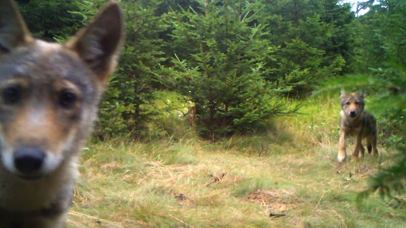 Orlické hory hlásí výskyt vlků