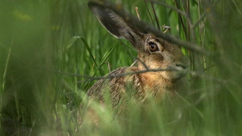 Jed na hraboše na Brněnsku zabil desítky zajíců, tvrdí myslivci