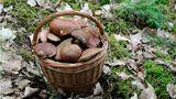 Chladné léto prospělo borůvkám ihoubám