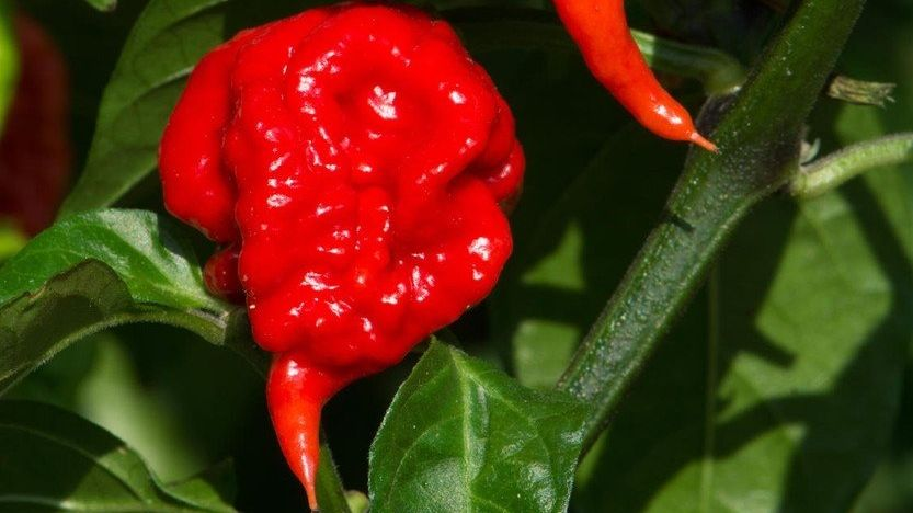 Chilli paprička Carolina Reaper.