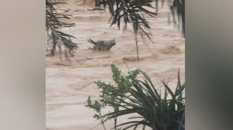 Vesničané zachránili topícího se buvola z rozbouřených vod