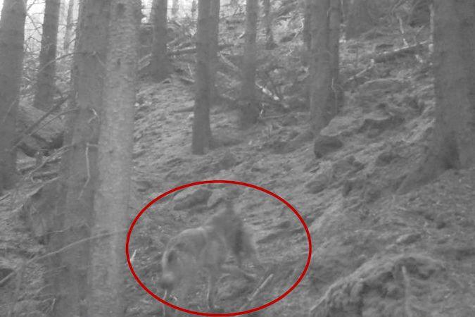 BEZ KOMENTÁŘE: Vlk s kořistí v polském národním parku Stolové hory nedaleko Česka