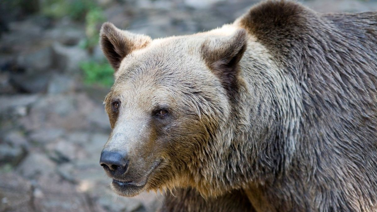 Aktivisté protestují proti trestu smrti pro medvěda, který pokousal dva Italy