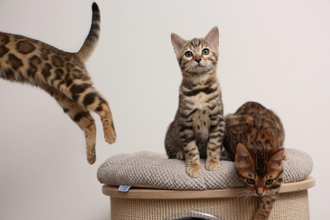 šíření malé kočička