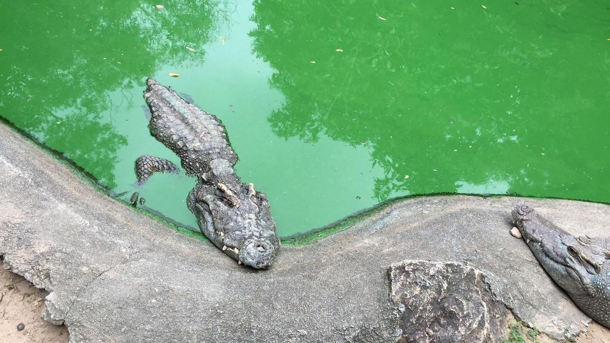 Tanzanie chce prodávat krokodýly, útočí na lidi