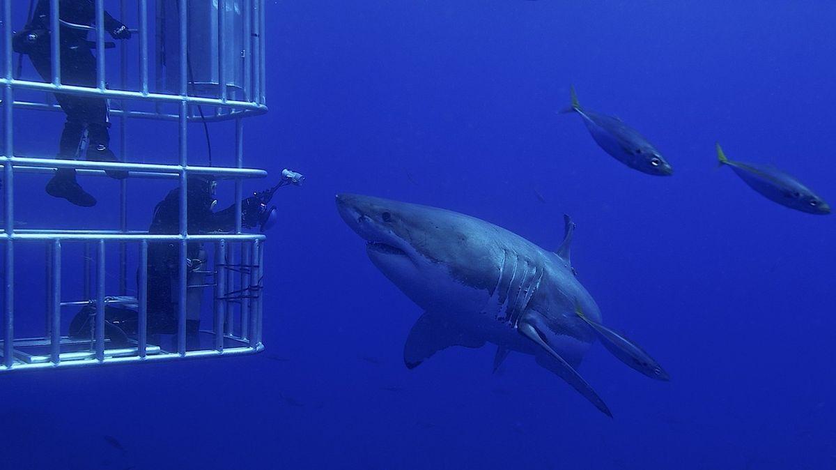 Velký bílý žralok vykrvácel v potápěčské kleci