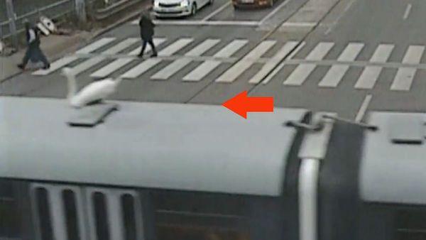 Labuťák si v Brně spletl tramvaj s vodní hladinou