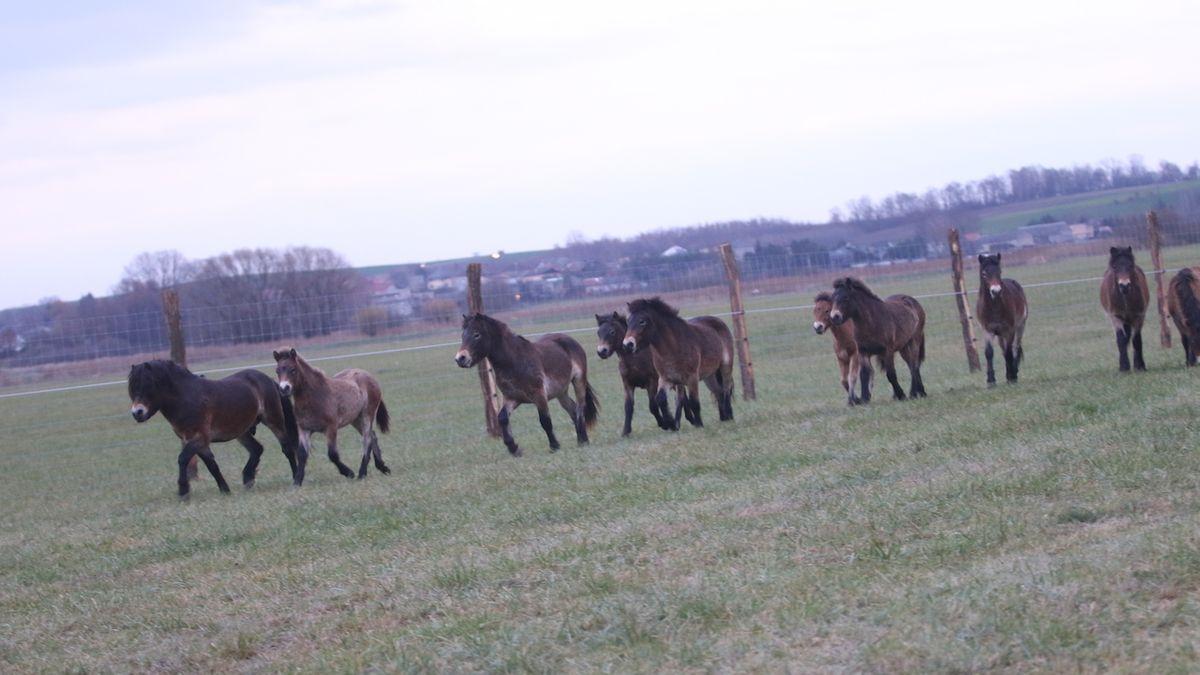 Kolem Kozmic na Opavsku už běhají divocí koně