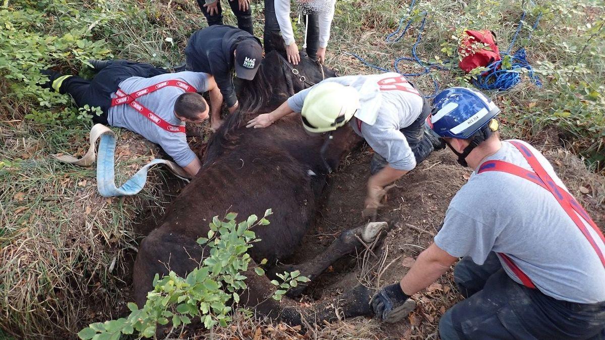 Hasiči v lese zachránili koně, kterému uvízla noha v jámě po vývratu