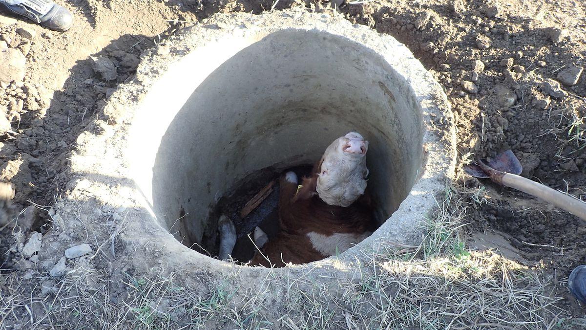 Býk shodil do studny tele. Hasiči povolali bagr