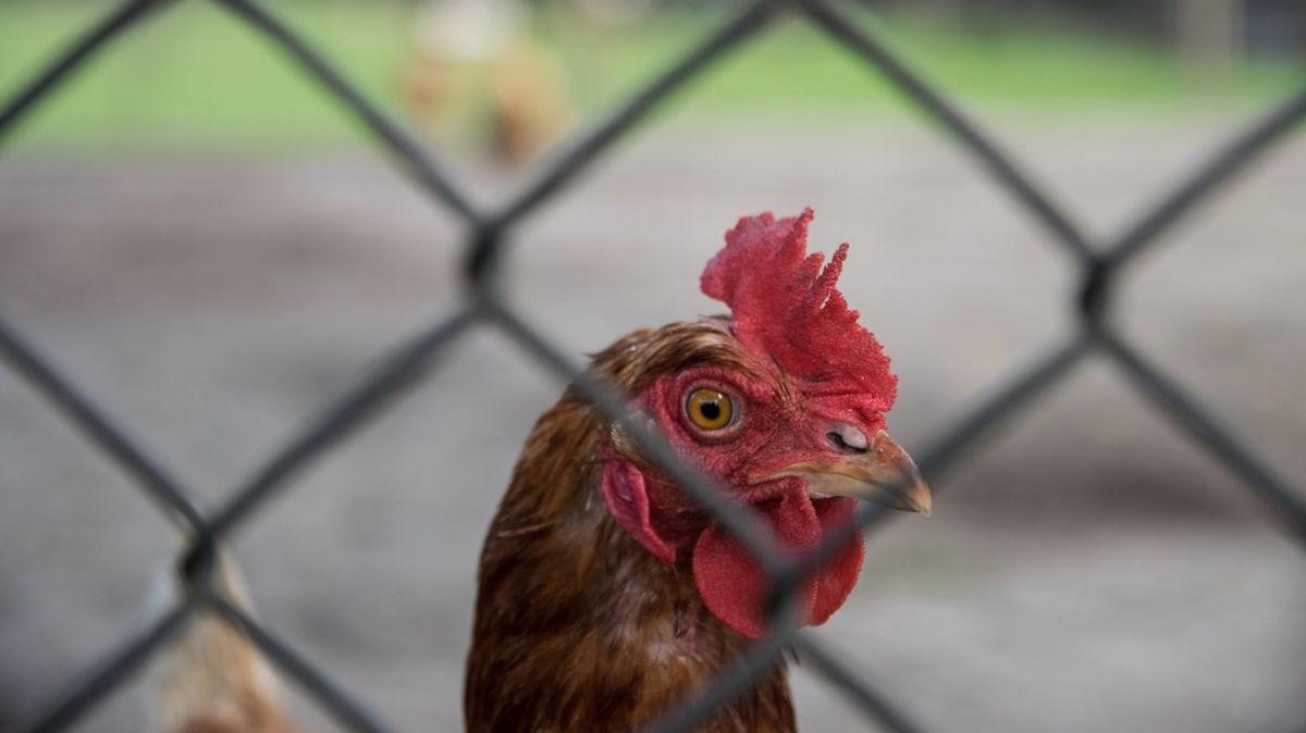 Na Slovensku se objevila ptačí chřipka