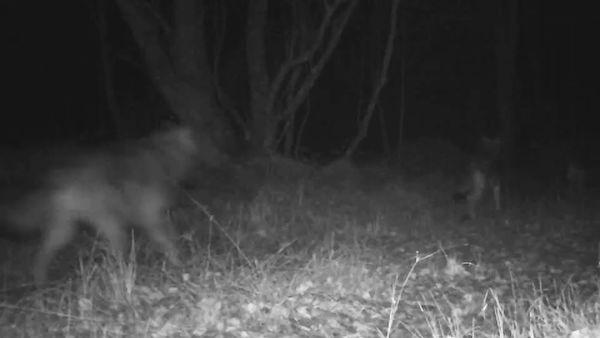 Na Šumavě přibyla mláďata vlků