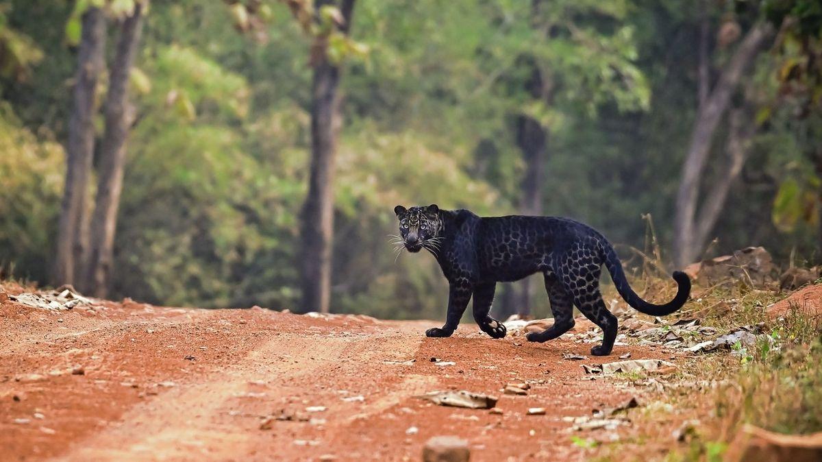 V Indii spatřili vzácného černého levharta