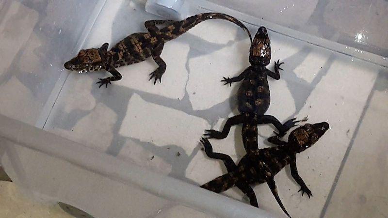Olomoucká zoo zkouší opustit umělý odchov krokodýlů čelnatých