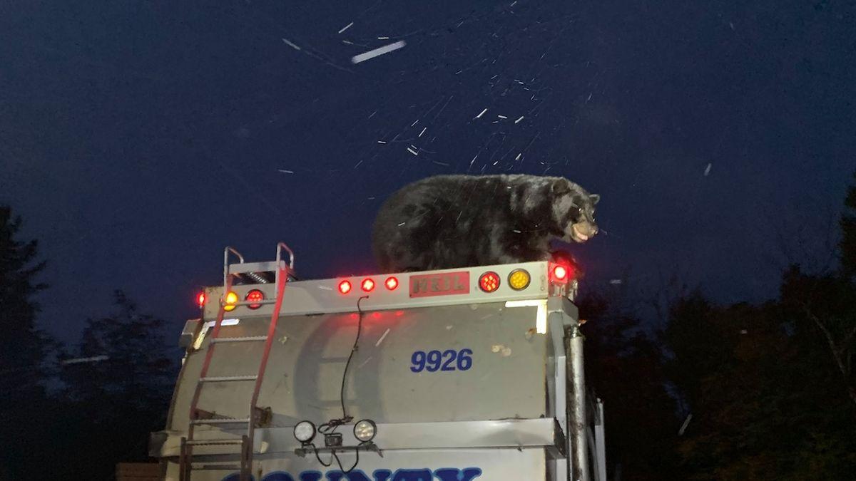 Medvěd se projel na popelářském voze