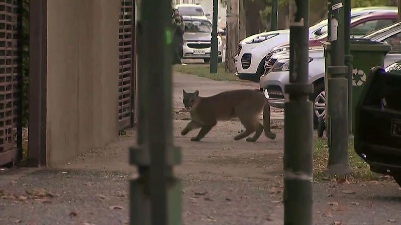 Ztichlá chilská metropole přilákala už druhou pumu