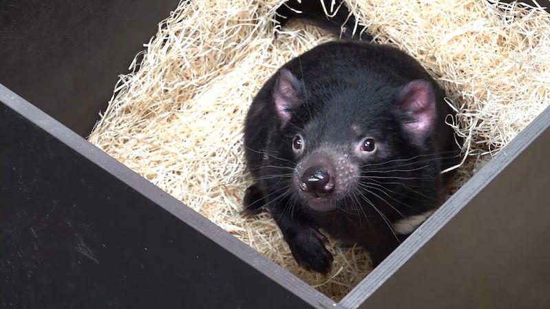 V pražské zoo se zabydlují tasmánští čerti