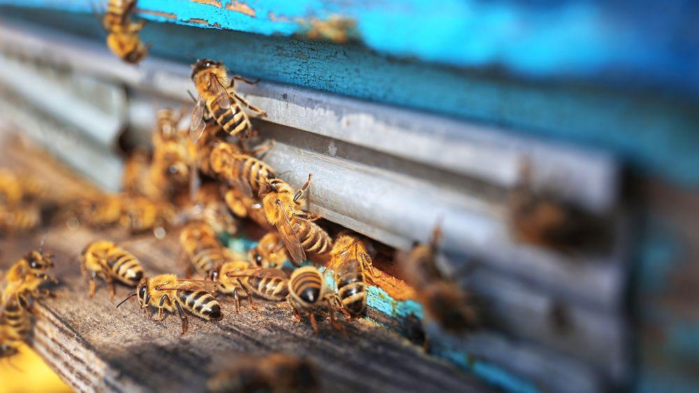 Včela jako nejlepší přítel. Ind si jimi nechává zakrýt celý obličej