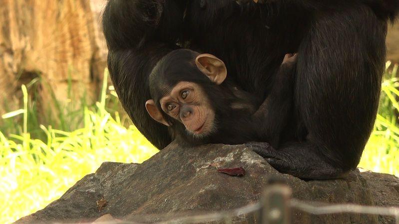 Chlouba plzeňské zoo se má čile k světu. Šimpanzí slečna Caila oslavila pátý měsíc života