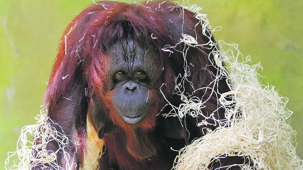 Samice orangutanů poputují z Ústí na Nový Zéland