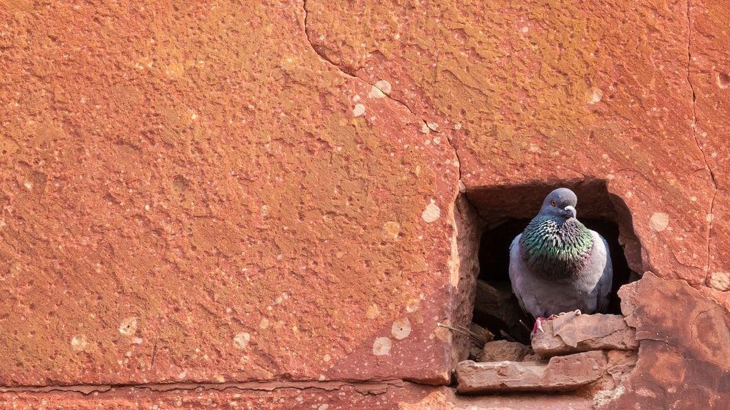 Předchůdci StB udávali ve starověku pomocí holubů